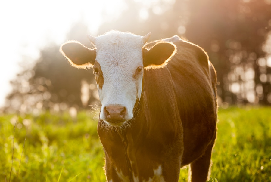 brown dairy cow in field
